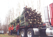After 10-12 years in the field, trees are ready for their new holiday homes